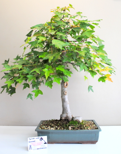 Acer buerger 20/22 ans
